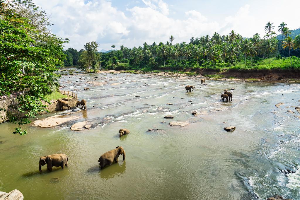 Шри-Ланка Пиннавела слоны. Что посмотреть на Шри-Ланке. Фото слонов.