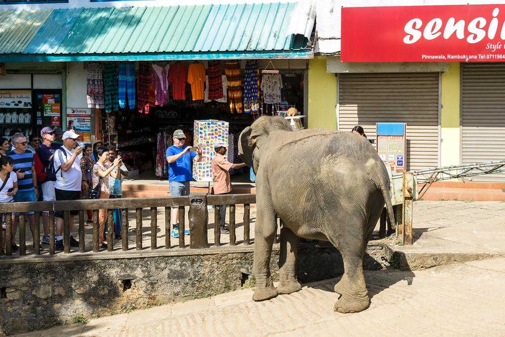 Шри-Ланка Пиннавела слоны