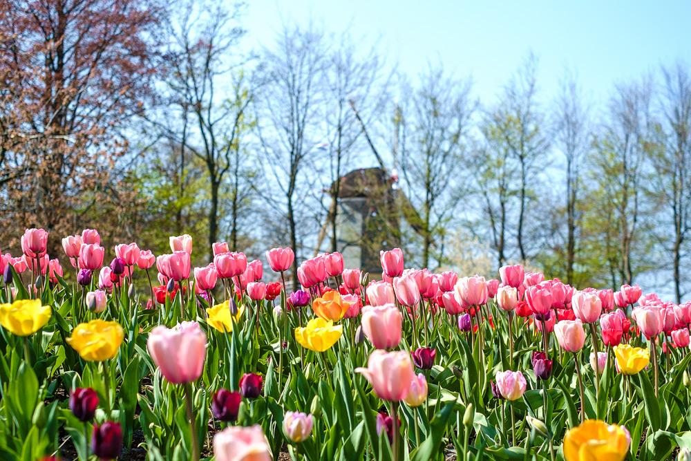 Как добраться до парка Кекенхоф. Их Харлема в Кекенхоф. Что посмотреть в Кекенхоф. Парк тюльпанов.