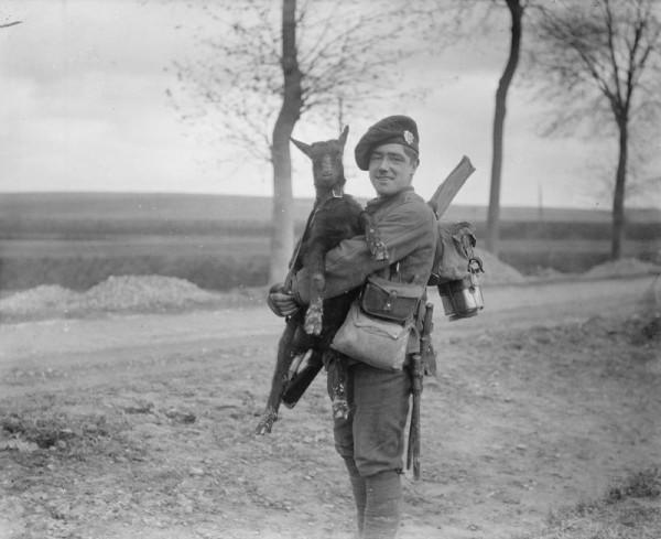 The goat mascot of the Royal Scots. Albert-Amiens road. November 1916.