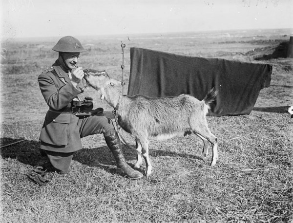 An R.G.A. Officer with the Battery's goat. Monchy-le-Preux. 18 March 1918.