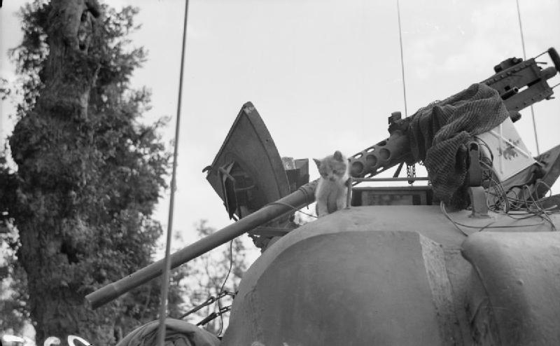 A rescued kitten on the turret of a Sherman tank, 14 August 1944