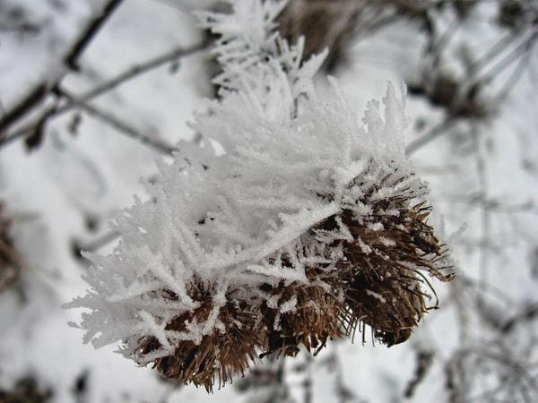 fottt 6375-1.jpg зимний чертополох