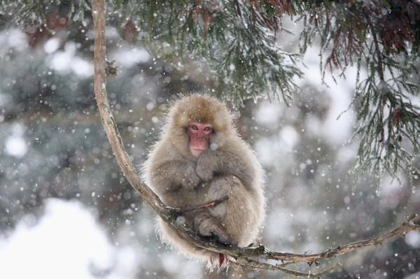 6-Японская макака на дереве в обезьяньем парке Джигокудани