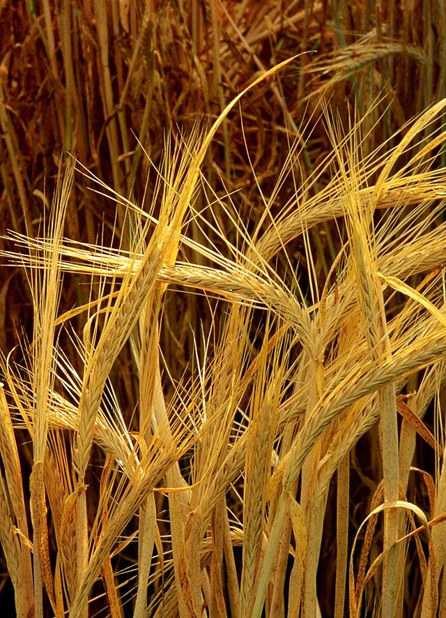 yachmen_barley_Wikipedia_Hordeum_vulgare