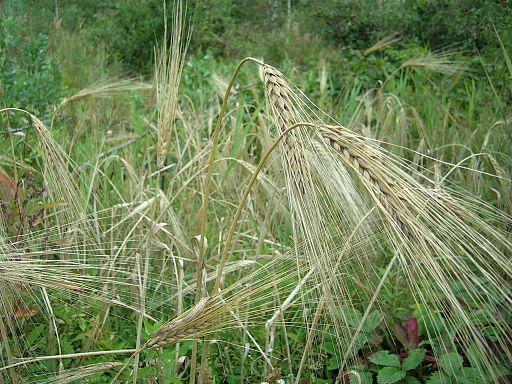 yachmen_barley_xlt_narod_ru_2005_12_23_vershki_i_koreshki_2