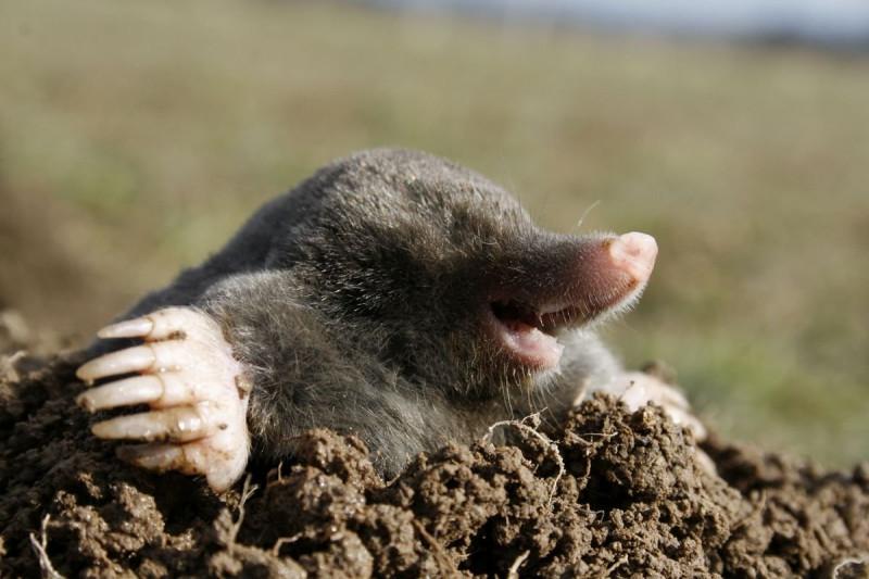 mole-2