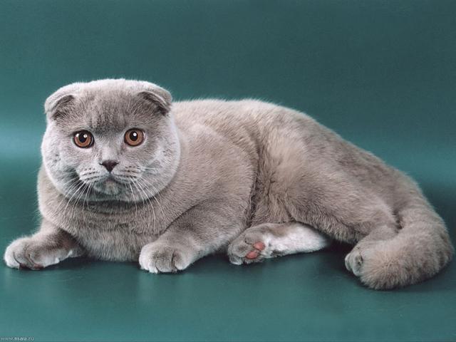 кошка вислоухая шотландская фото