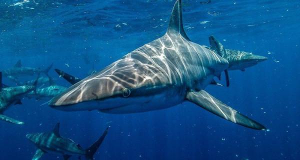 Австралийцы оставили без еды белых акул