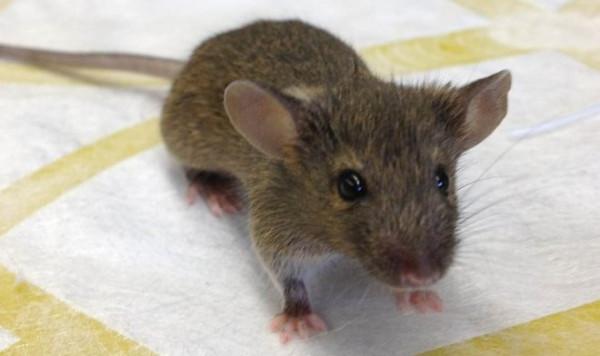 Американские ученые создали самый совершенный гибрид человека и мыши