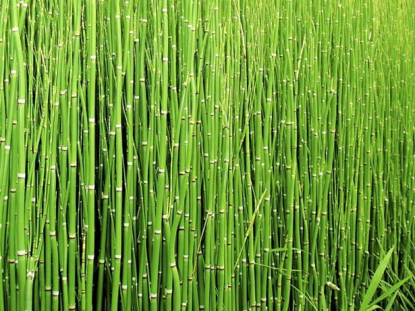 Хвощ зимующий: растение, которым можно поцарапать металл