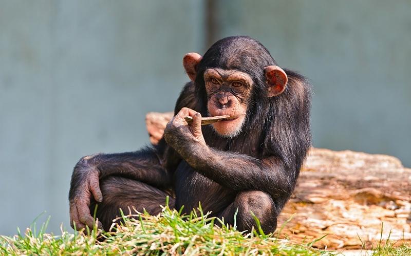 Можно ли перелить человеку кровь шимпанзе