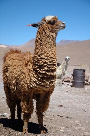Одна лама - в стаде воин, или как их используют для защиты овец от хищников