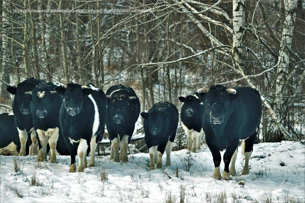Одичавшие коровы Чернобыльской зоны отчуждения организовали стадо и ведут себя