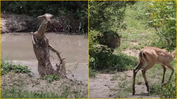 Как антилопа сбежала из пасти крокодила в лапы леопарда
