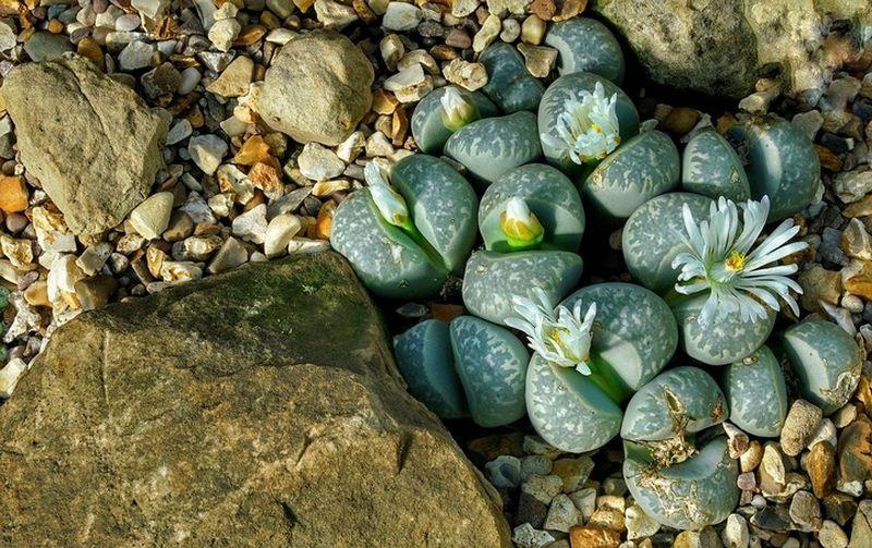 Литопс (лат. Lithops), или цветущий камень