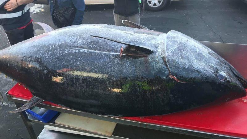 Рыбаки поймали 271-килограммового тунца + видео промышленной ловли этой рыбы на