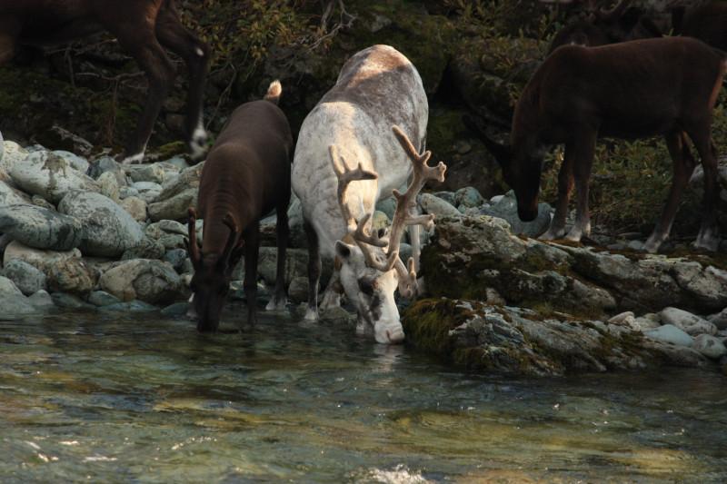 Стадо из 4000 оленей переходит реку