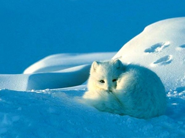 879005__curled-up-arctic-fox_p