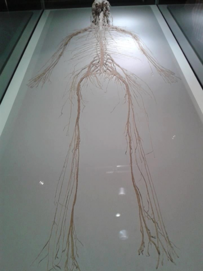 The central and peripheral nervous systems, removed from the body.