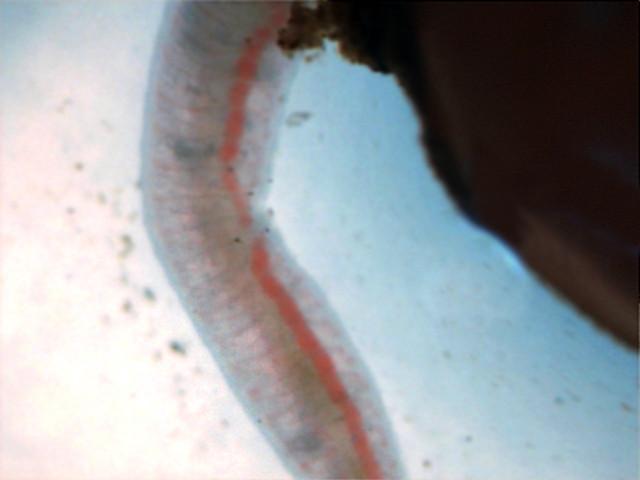 дождевого червя под микроскопом
