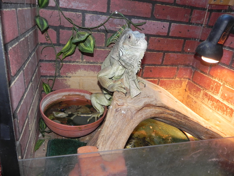 Iguanych