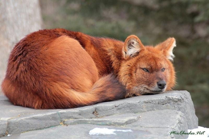 красный волк.jpg