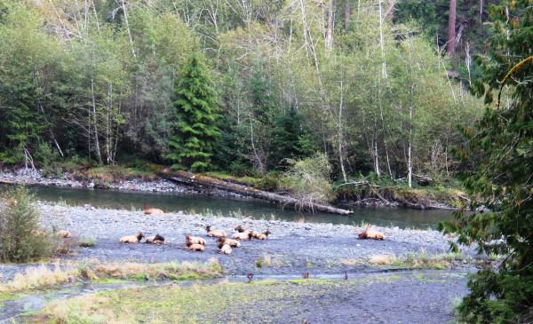 Roosevelt Elk, Quinault River