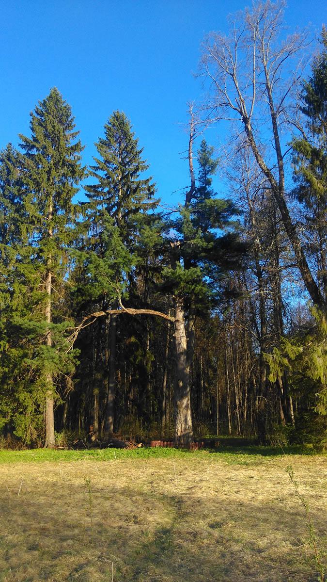 Дерево великан ровесник усадьбы...