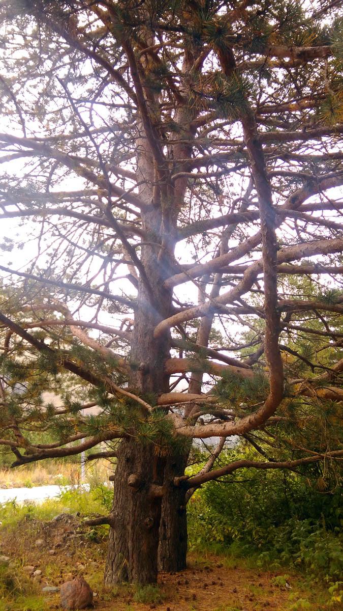 Мощные деревья и воздух пропитанный запахом сосновой смолы, не смотря на мелкий дождь...