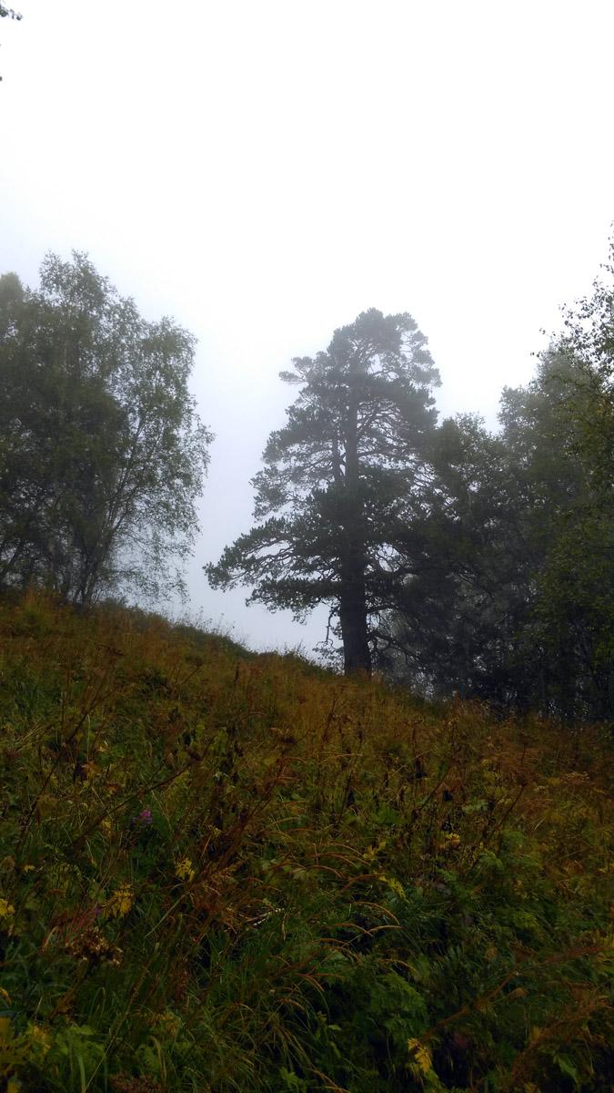 Мощные деревья в таинственной дымке...