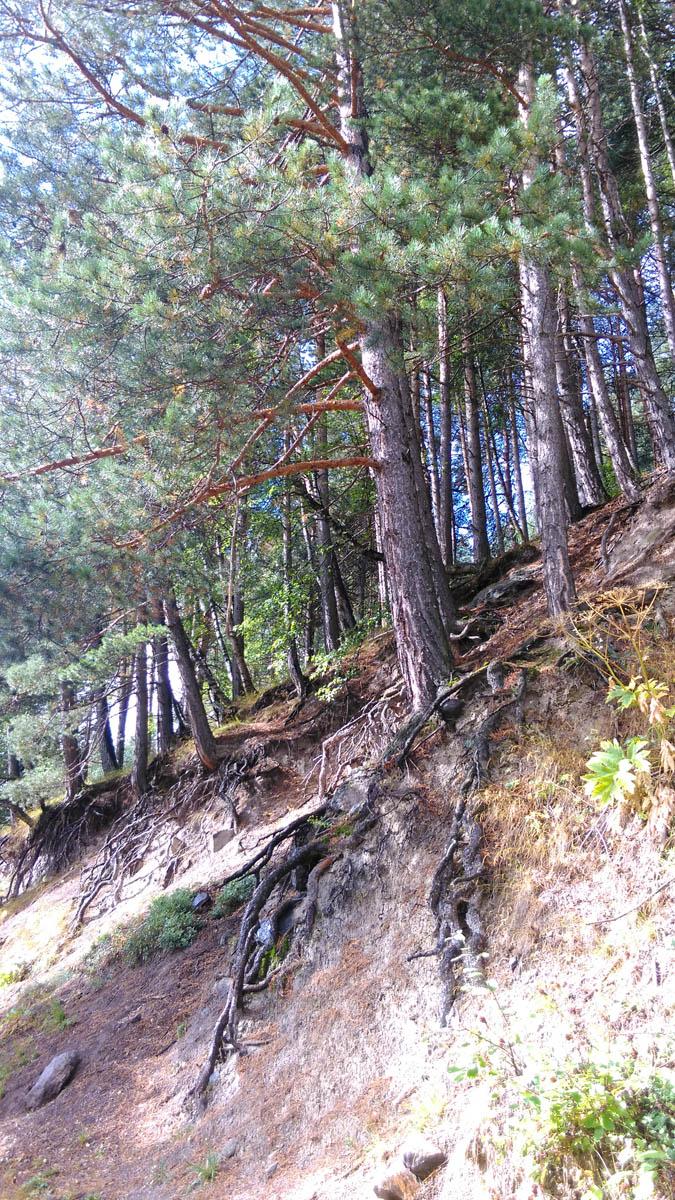 Оголенные корни сосен растущих на склоне Пик Терскол.