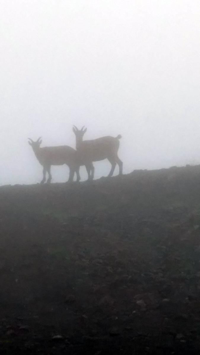 Это горные козлы - Туры. Через некоторое время вожак издает звук похожий на свист и туры исчезают в тумане...