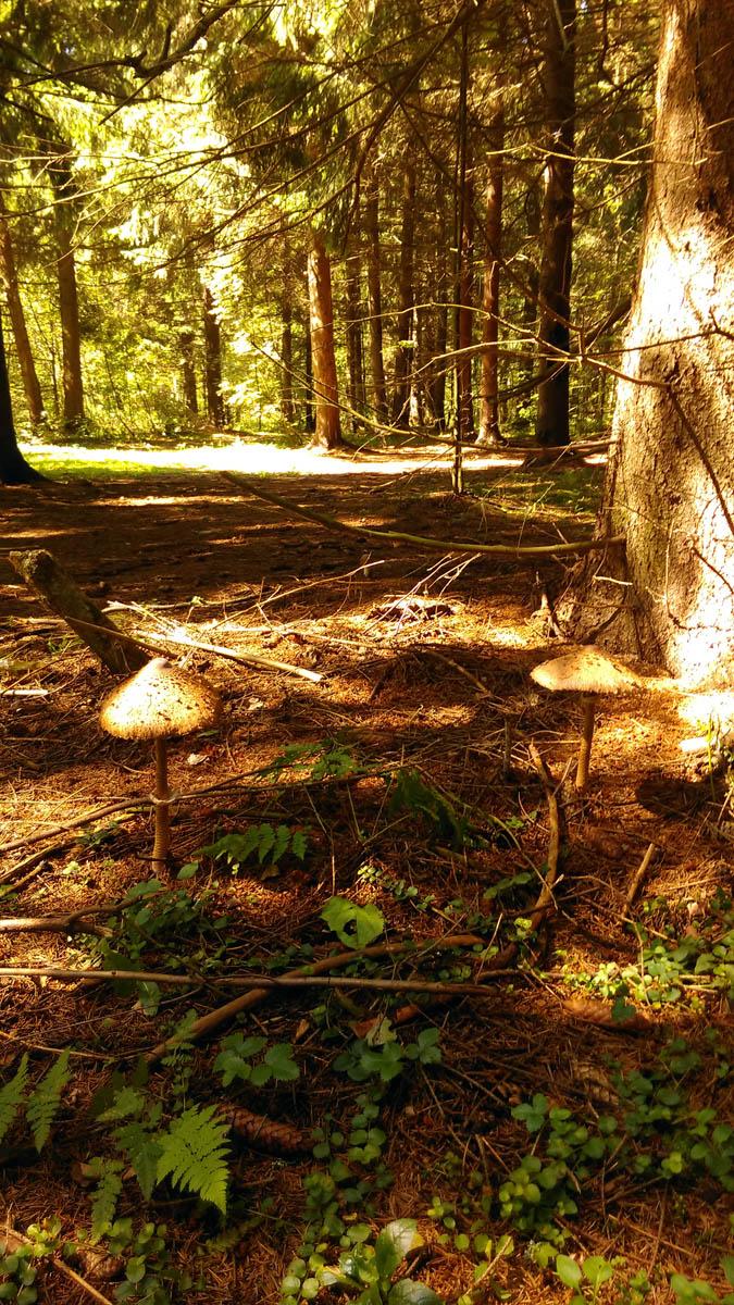 Кстати, о грибах. Почти такие же попались мне в лесу недалеко от моей усадьбы.