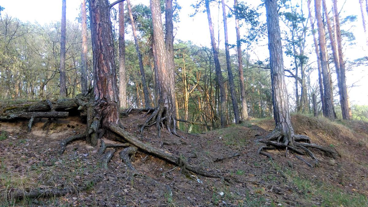 Какие здесь сосны красавицы на корнях многоножках!