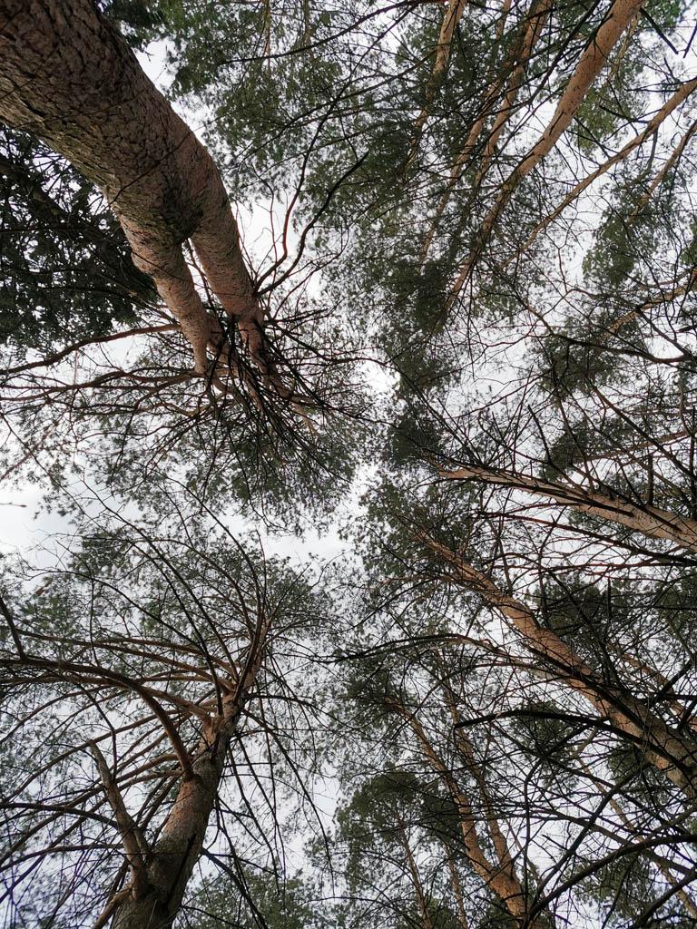 А за забором сосновый лес...