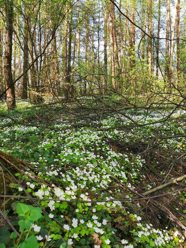 В одном месте скопление белых цветов, словно снегом припорошило...