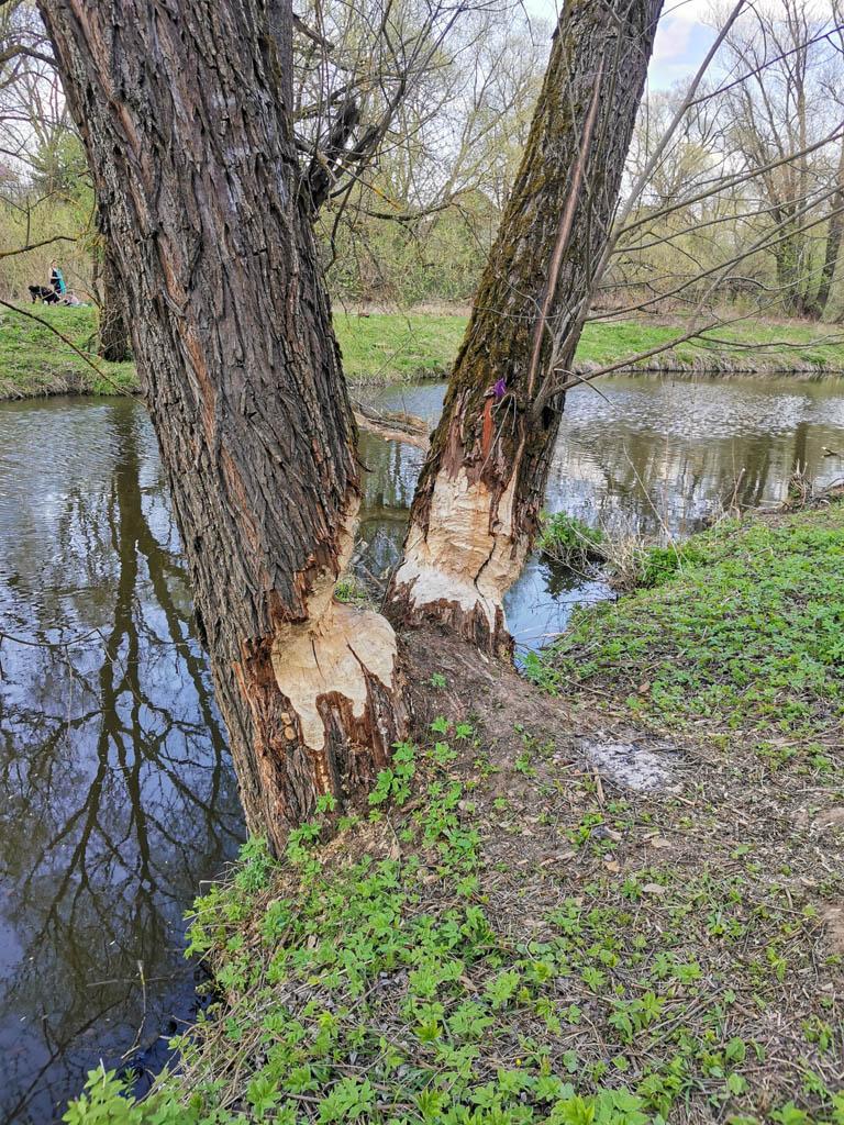 Проделки бобров. Два не самых маленьких дерева бобры уже наполовину подгрызли...