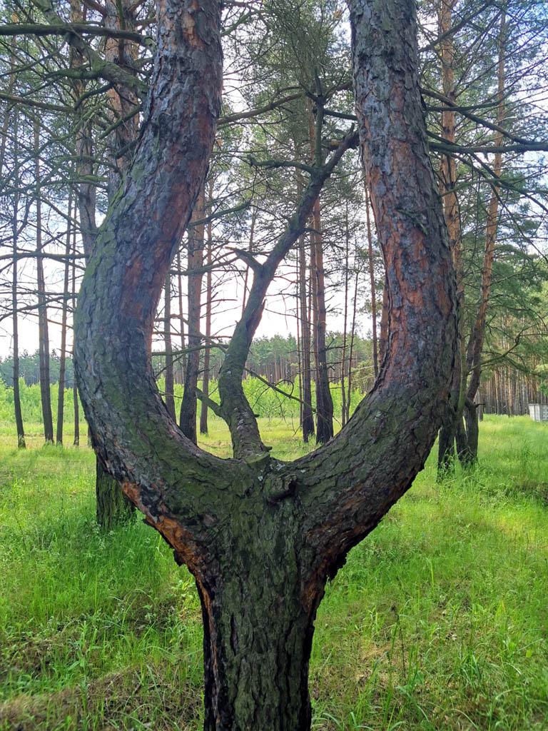 Интересной формы сосна...