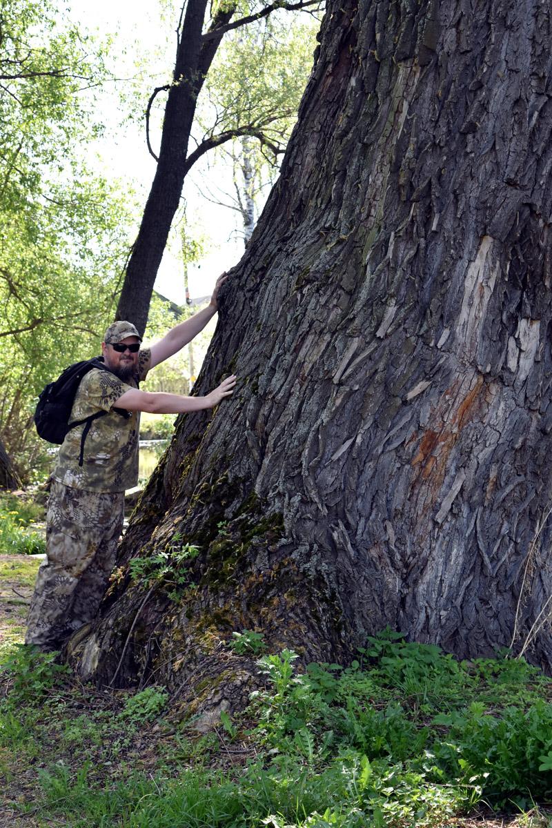 Дерево Великан (справа) около пруда в селе Кузьминское.