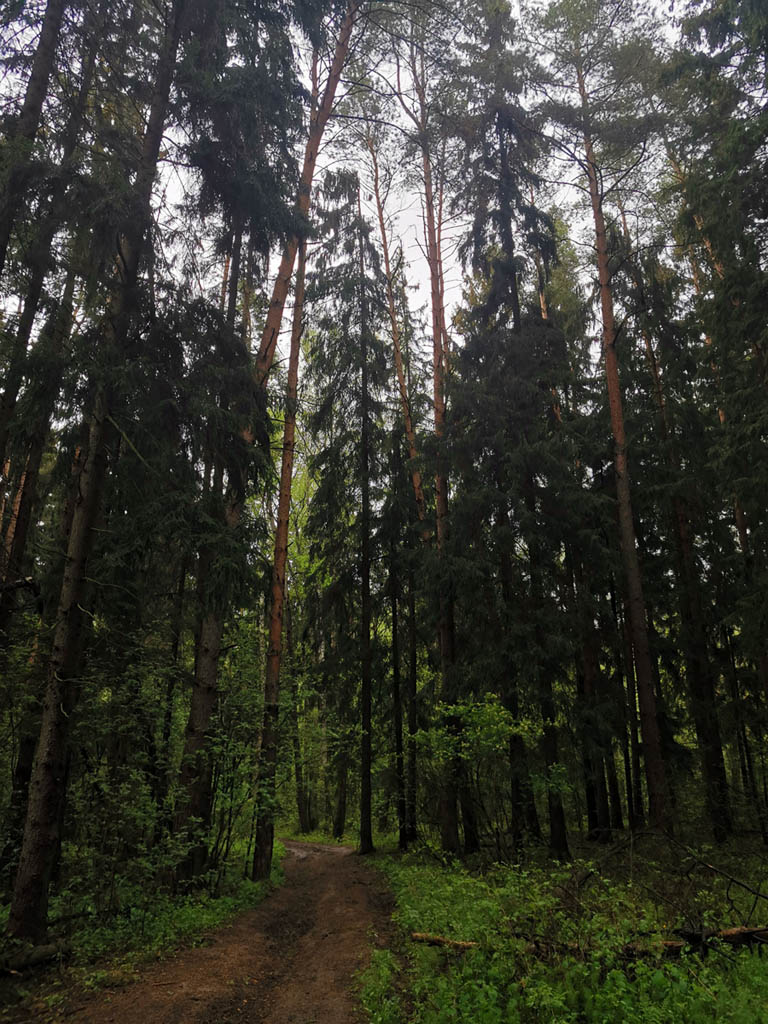 Идем через ельник.. Если бы не накатанная машинами грунтовка, то можно было бы сказать, через дремучий лес)))