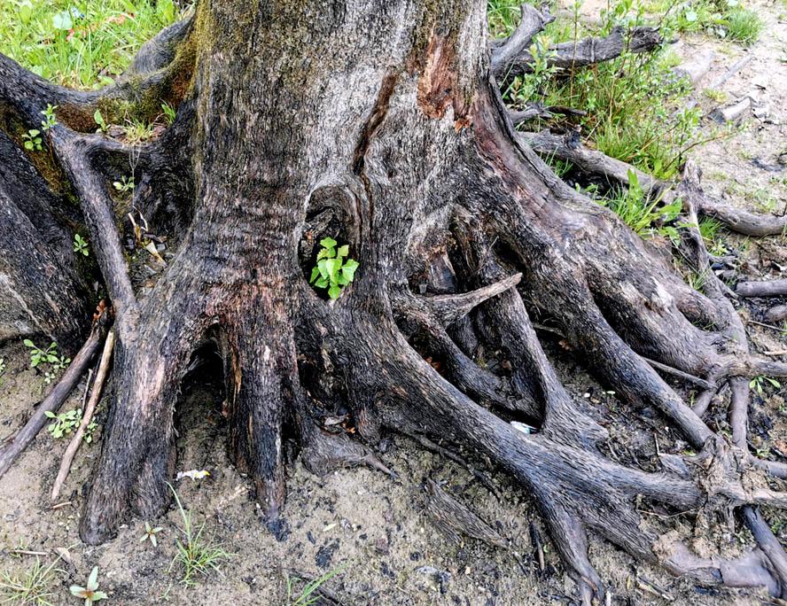 Очередной мертвый пенек, сквозь его корни пробивается новая жизнь...
