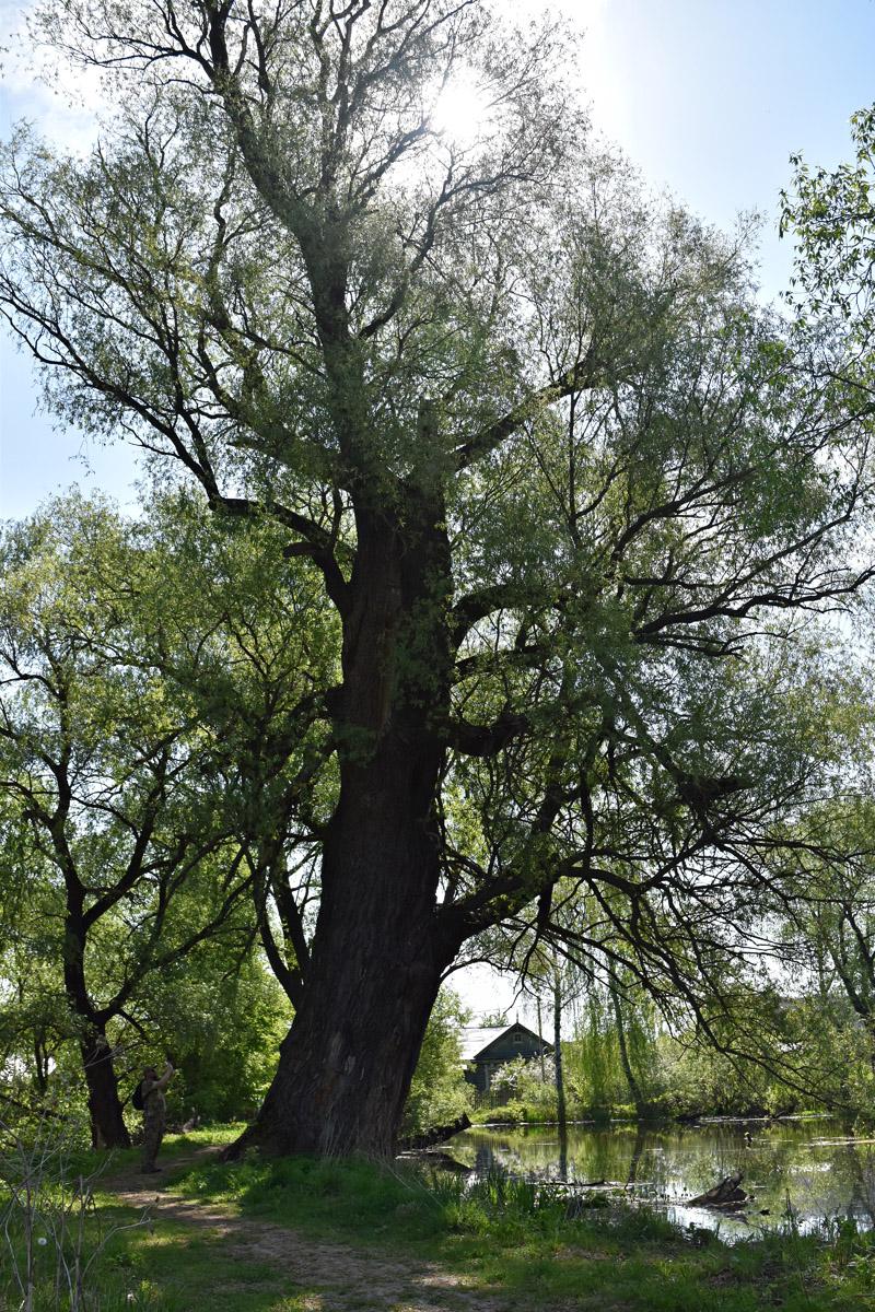 Огромное дерево у пруда в Кузьминское.