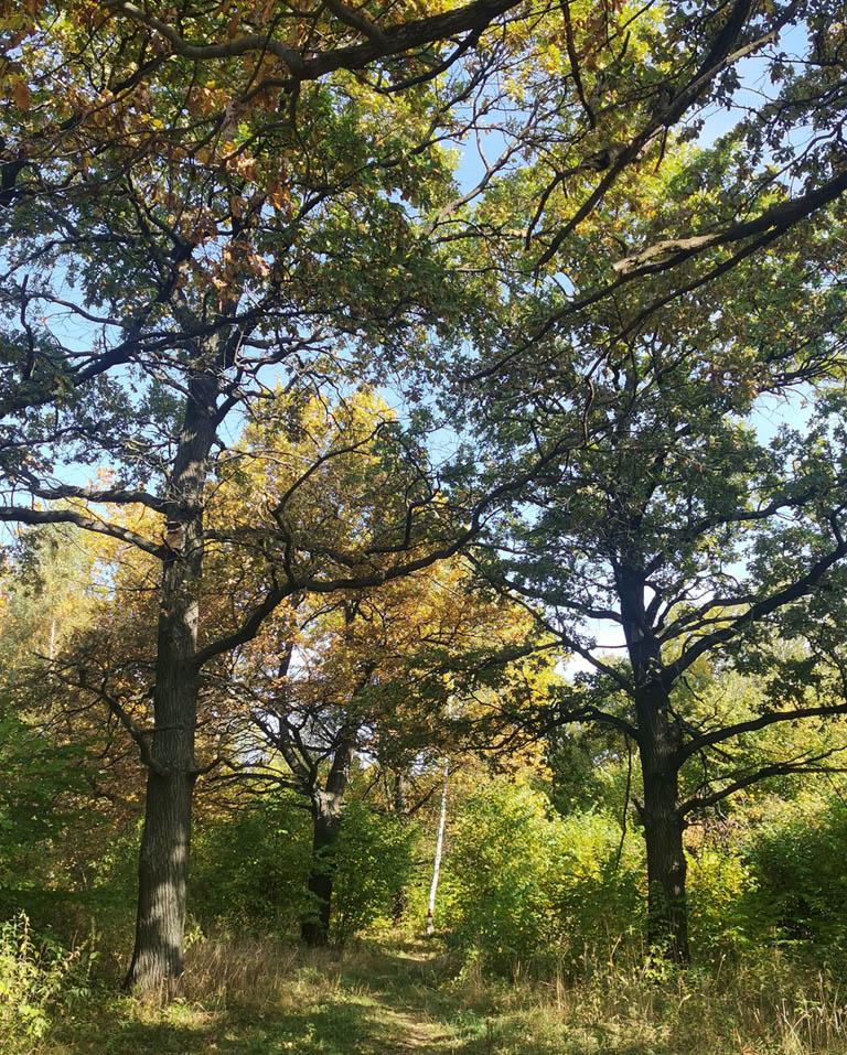 В лесу растут в основном, собственно, дубы и орешник.