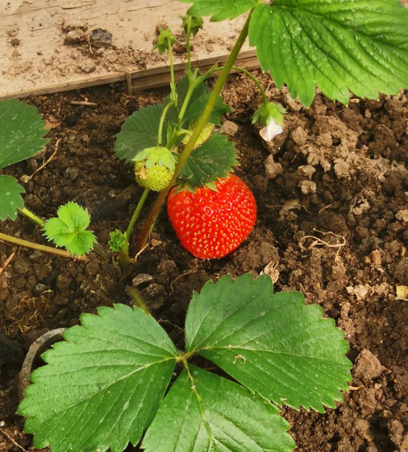 Но не все так грустно было в июне... Погода в основном радовала. Созрели первые ягоды и овощи...