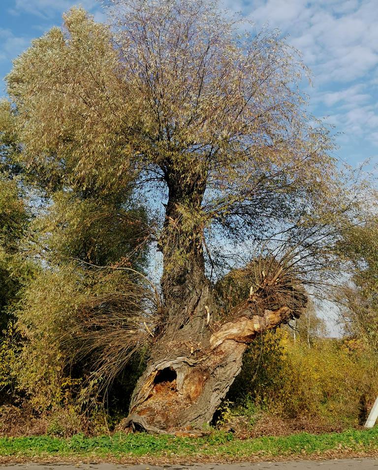 Большой дерево у съезда с Каширского шоссе на дорогу к усадьбе.