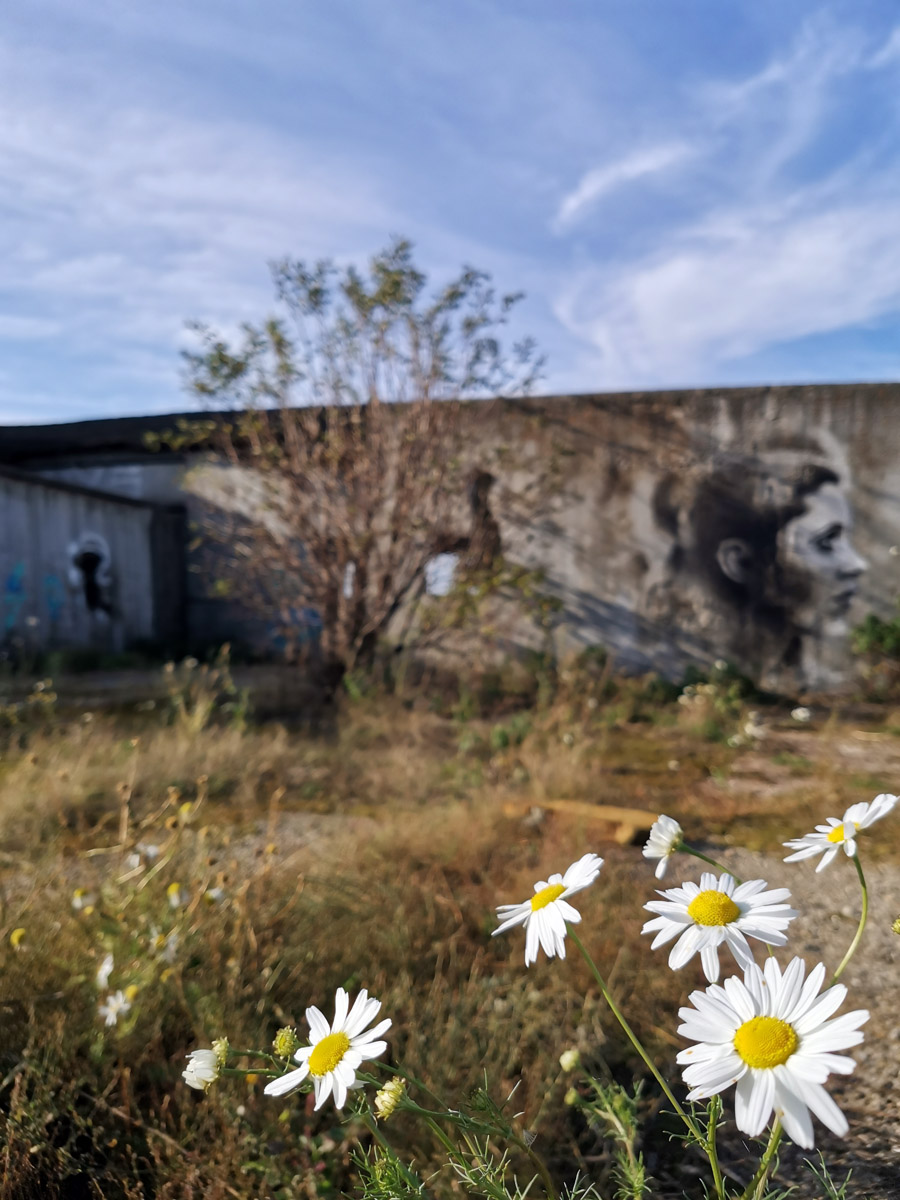 "Ромашки на территории аэродрома малой авиации в Барыбино. Координаты:  55°17'12""N 37°56'30""E"