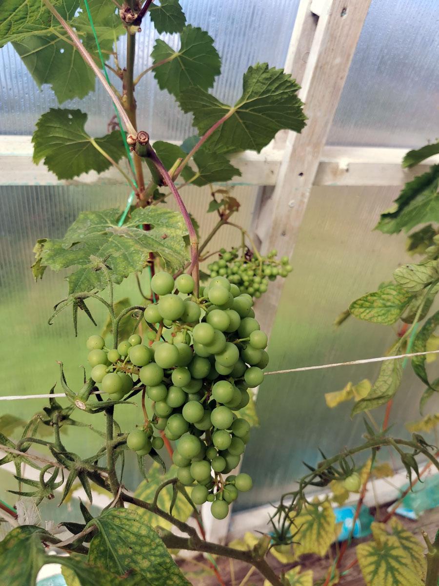 Белый виноград в моей теплице.