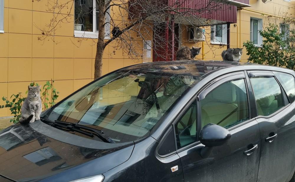 Коты автолюбители)))