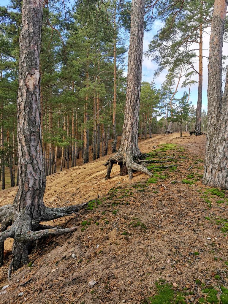 Шагающие сосны на песчаных холмах-отвалах Белопесоцкого (Каширского) затона.